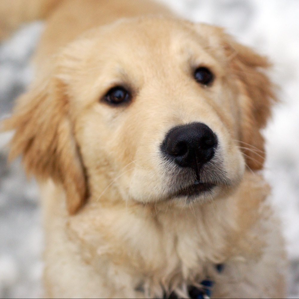 Baby Golden Retrievers Picture