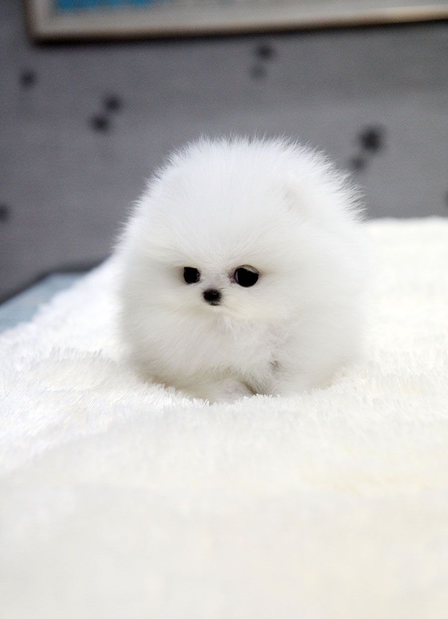 Baby Pomeranians Picture