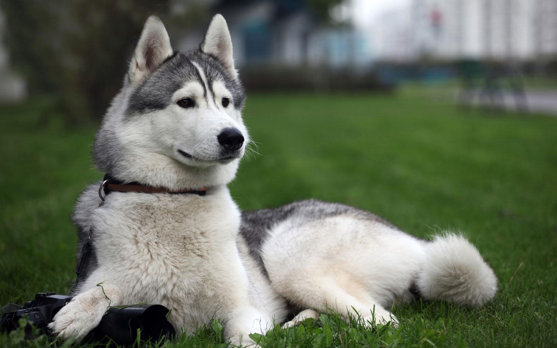 Baby Siberian Huskies Picture