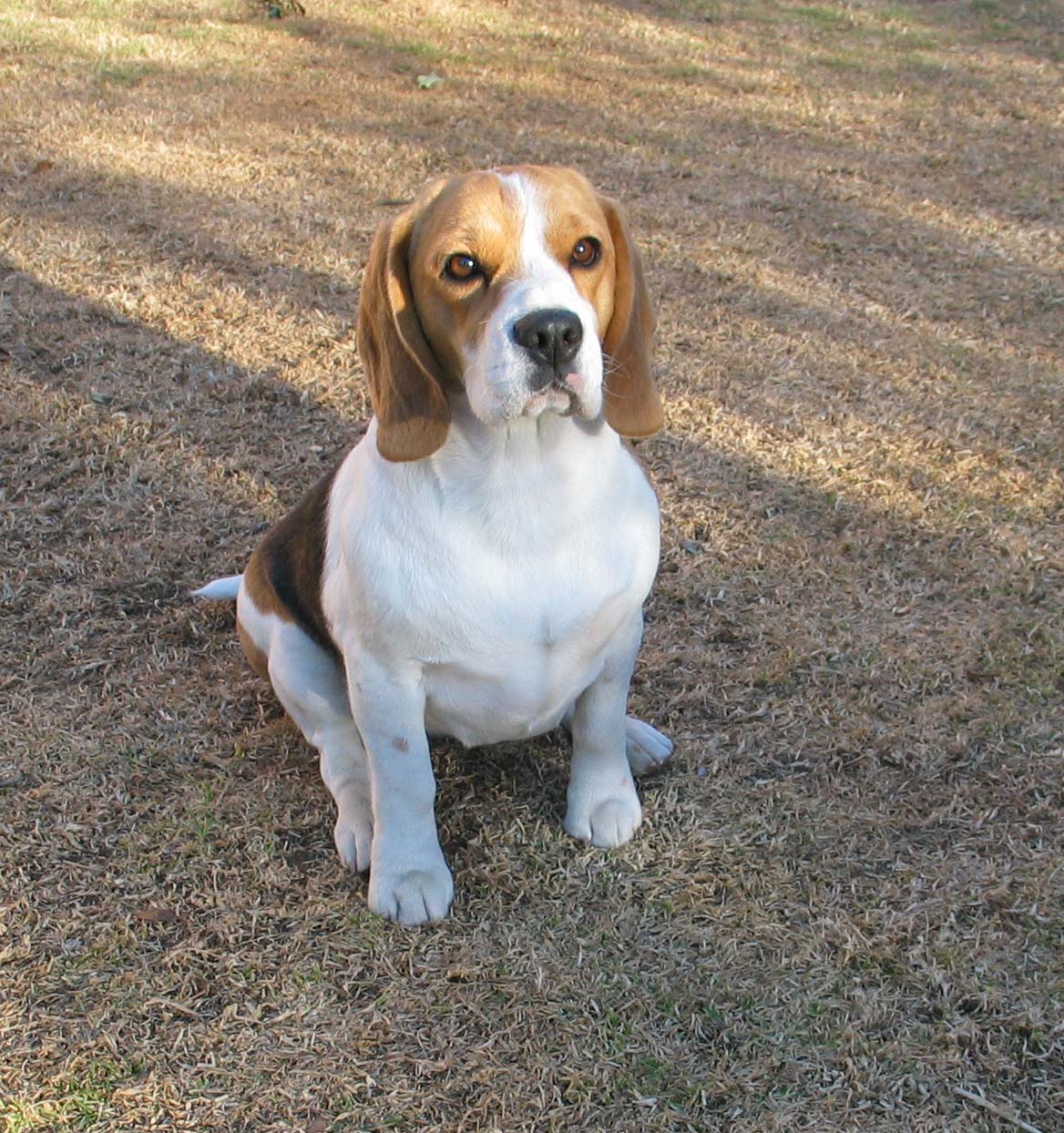Basset Hound Puppies Picture Arkansas