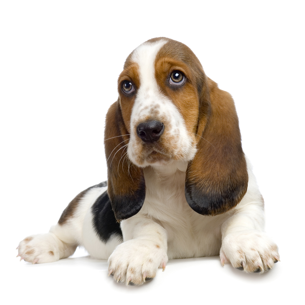 Basset Hound Puppies Picture Ny