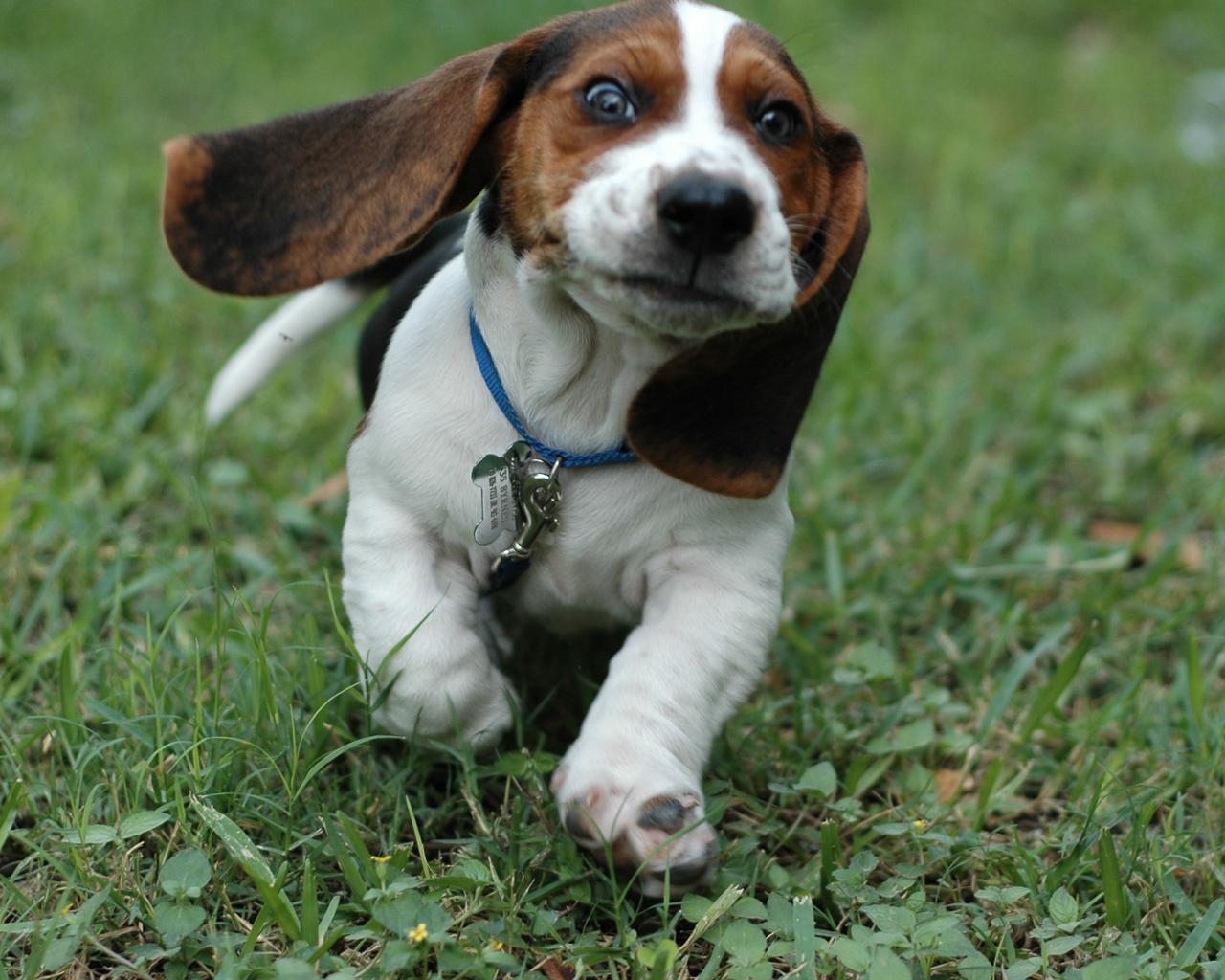 Basset Hound Puppies Picture Wisconsin Dog Breeders Guide