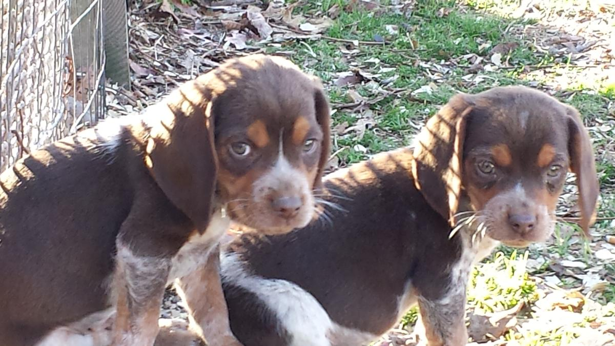 Beagle Puppies Picture Alabama