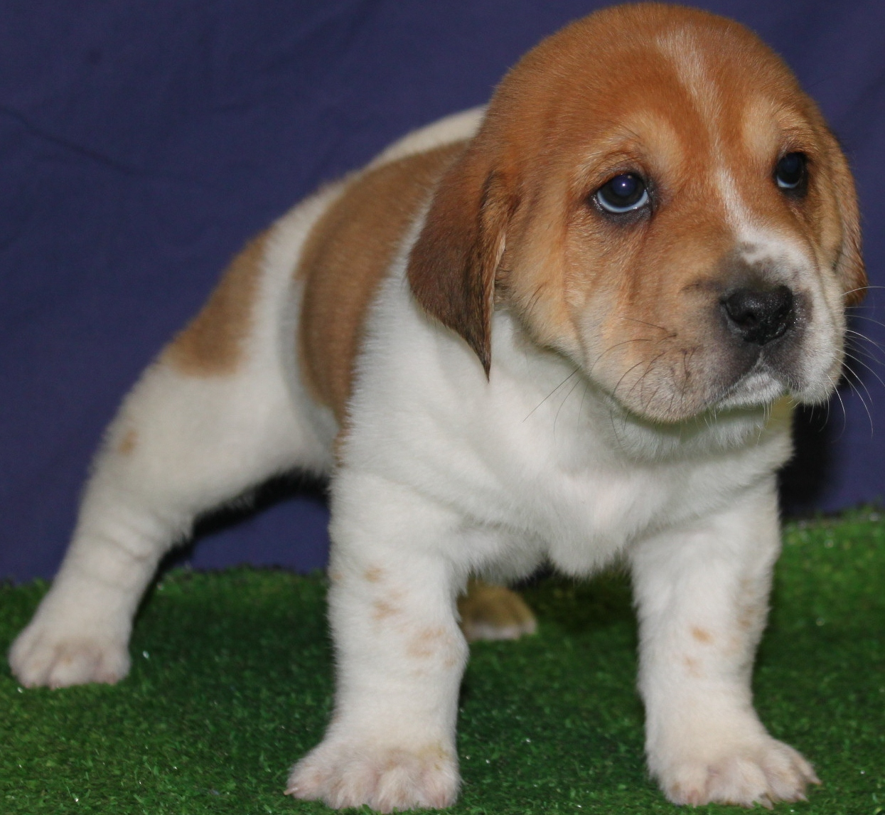 Beagle Puppies Picture Nj