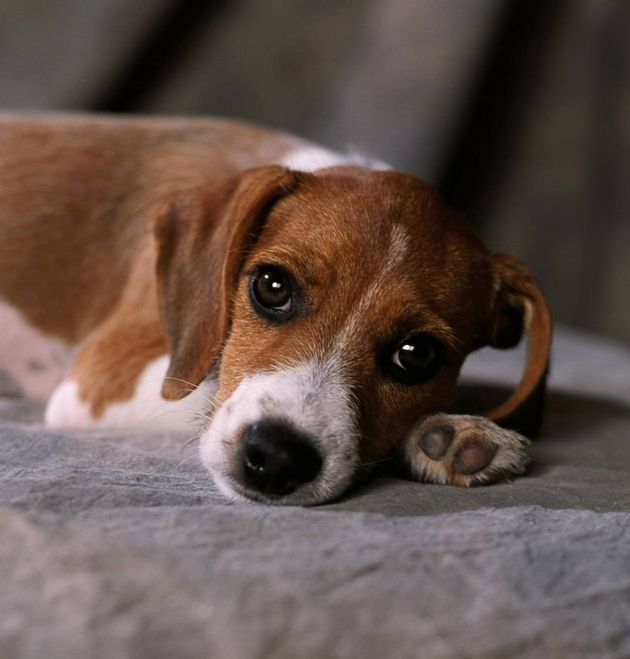 Beagle Terrier Mix Puppies Picture