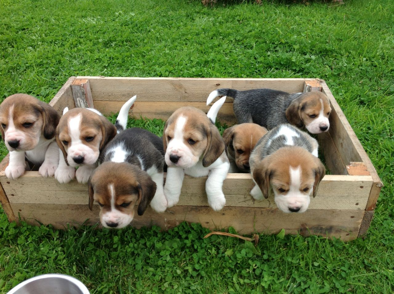 Beagles Picture Online Puppies