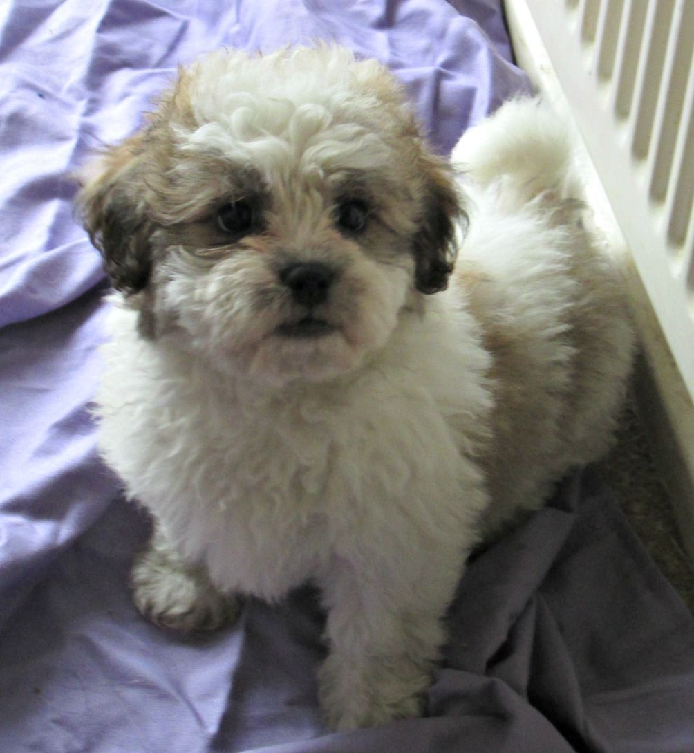 Bichon Frise And Shih Tzu Mix Puppies Picture