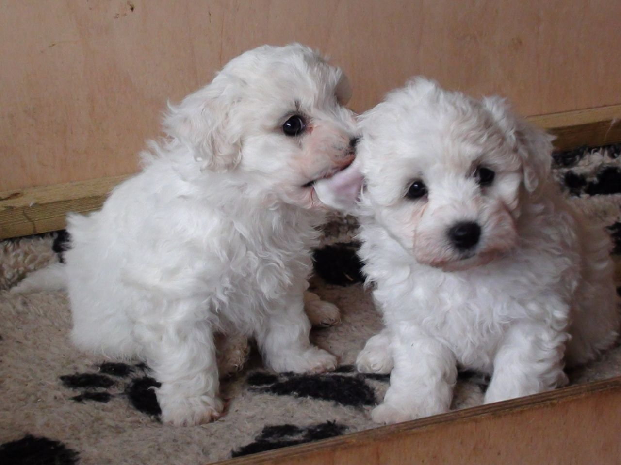 Bichon Frise Puppies Picture Missouri