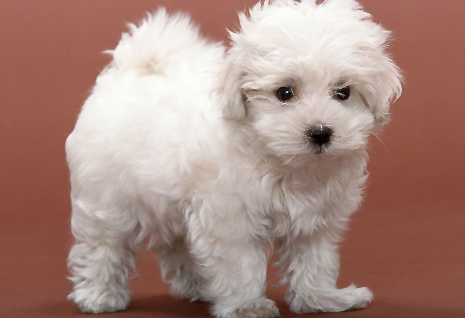 Bichon Frise Puppies Picture Oregon