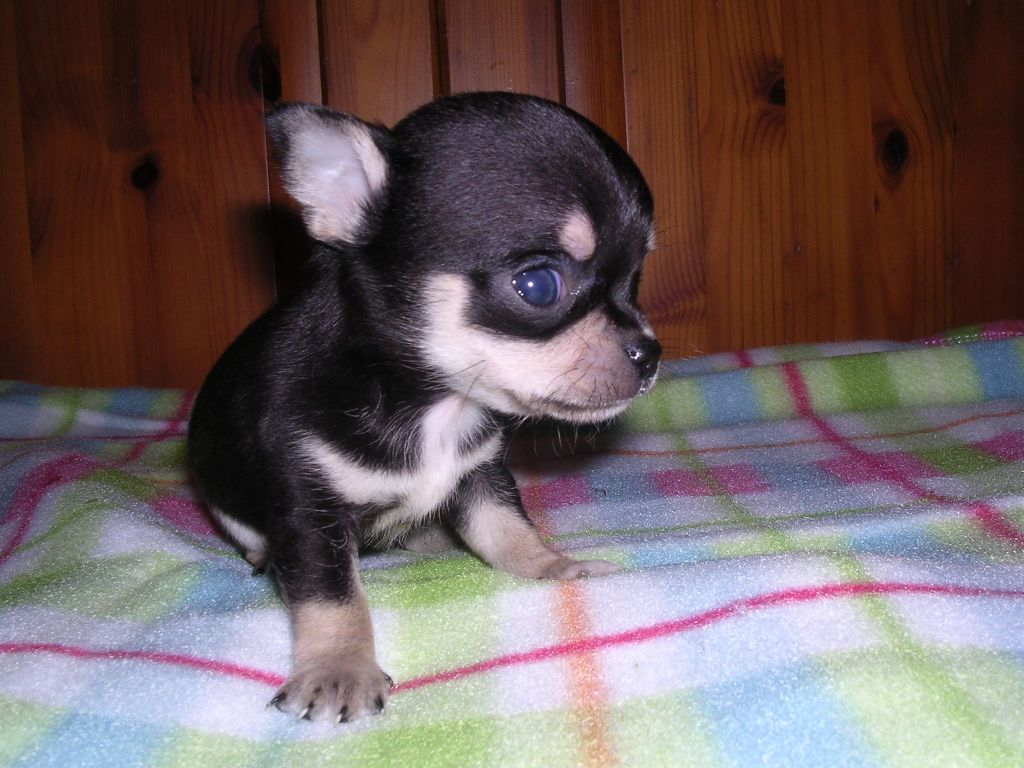 Black And Tan Chihuahua Puppies Picture Dog Breeders Guide