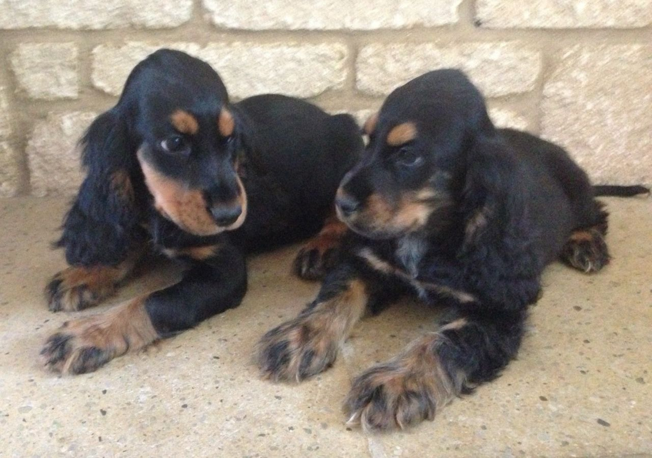 Black And Tan Cocker Spaniel Puppies Picture