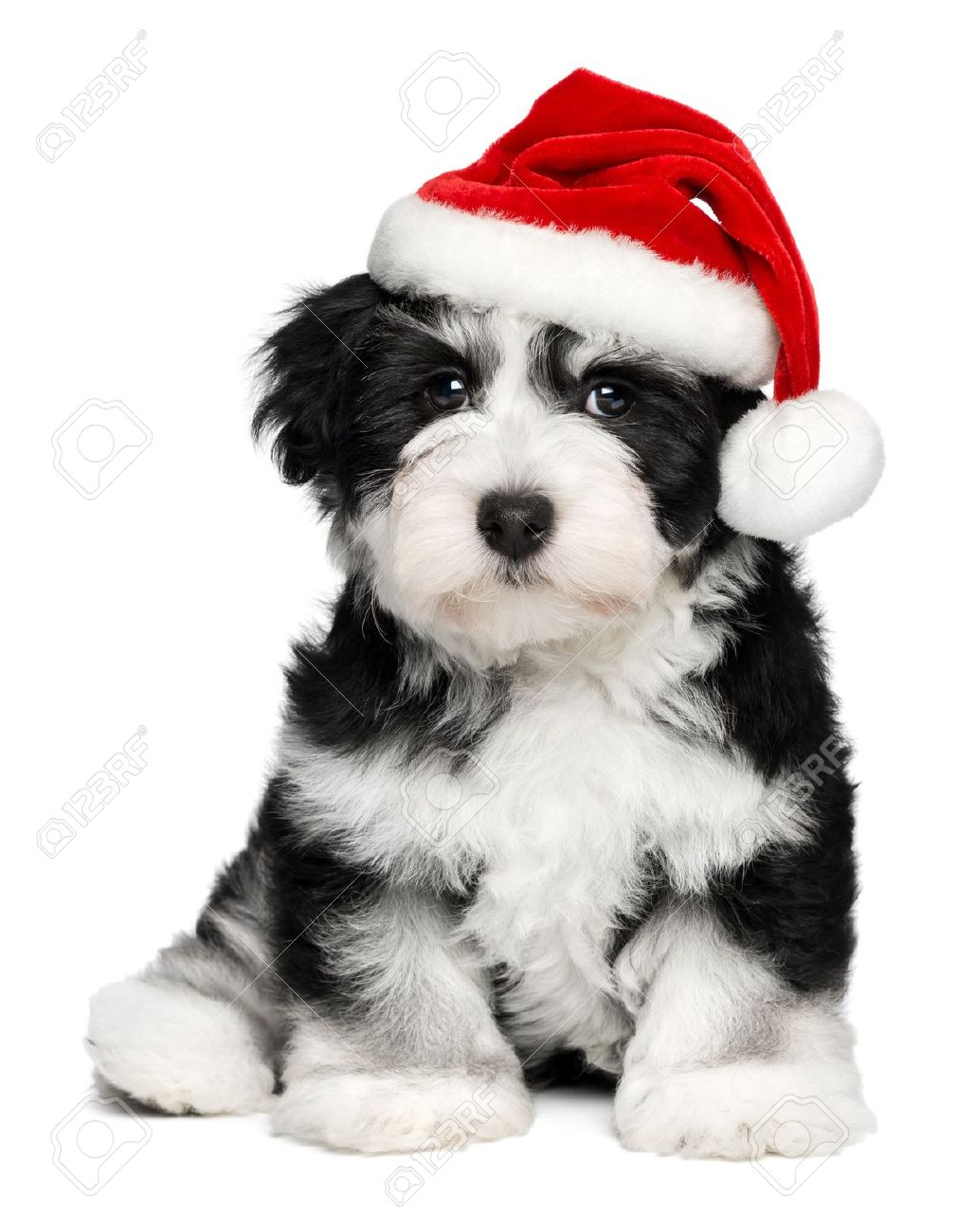 Black And White Havanese Puppies Picture