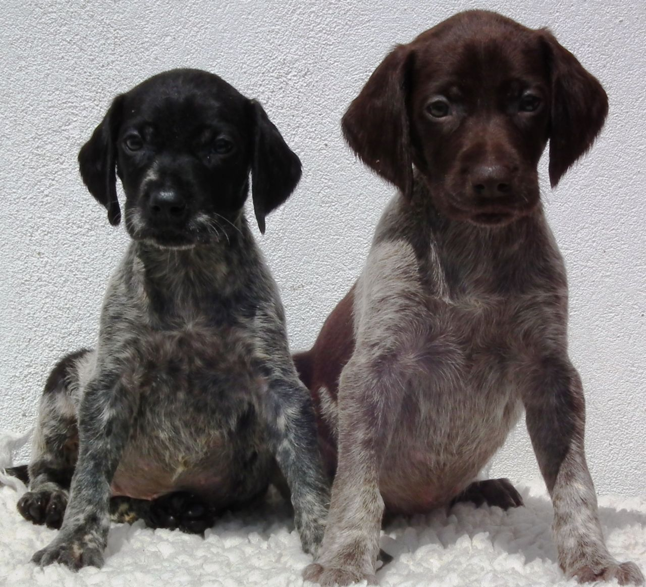 Black German Shorthaired Pointer Puppies Picture