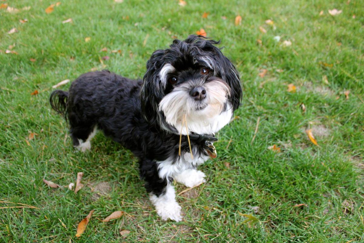 Black Havanese Puppies Picture