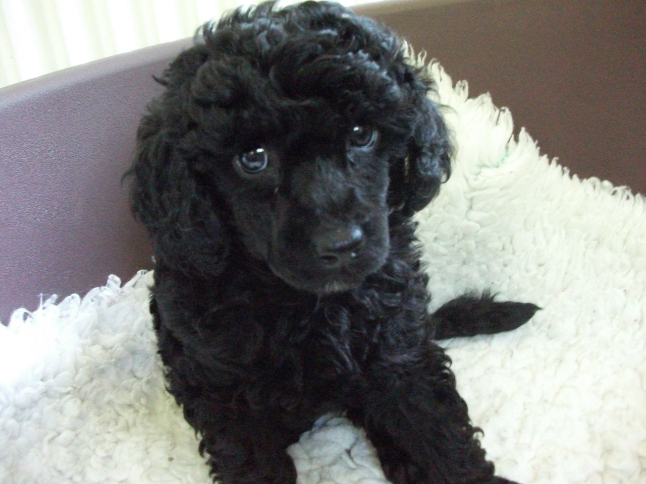 Black Miniature Poodle Puppies Picture Dog Breeders Guide