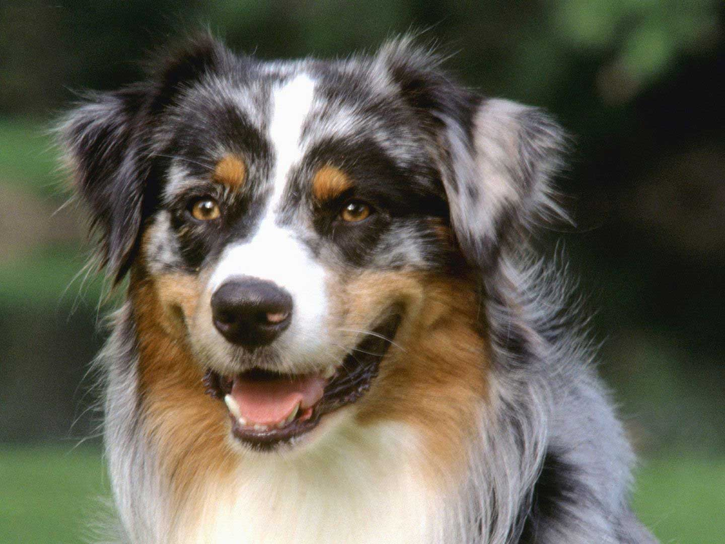 Blue Eyed Australian Shepherd Puppies Picture