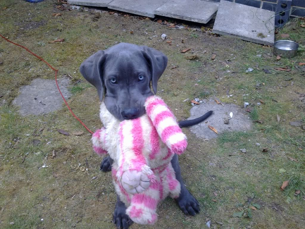 Blue Eyed Great Dane Puppies Picture