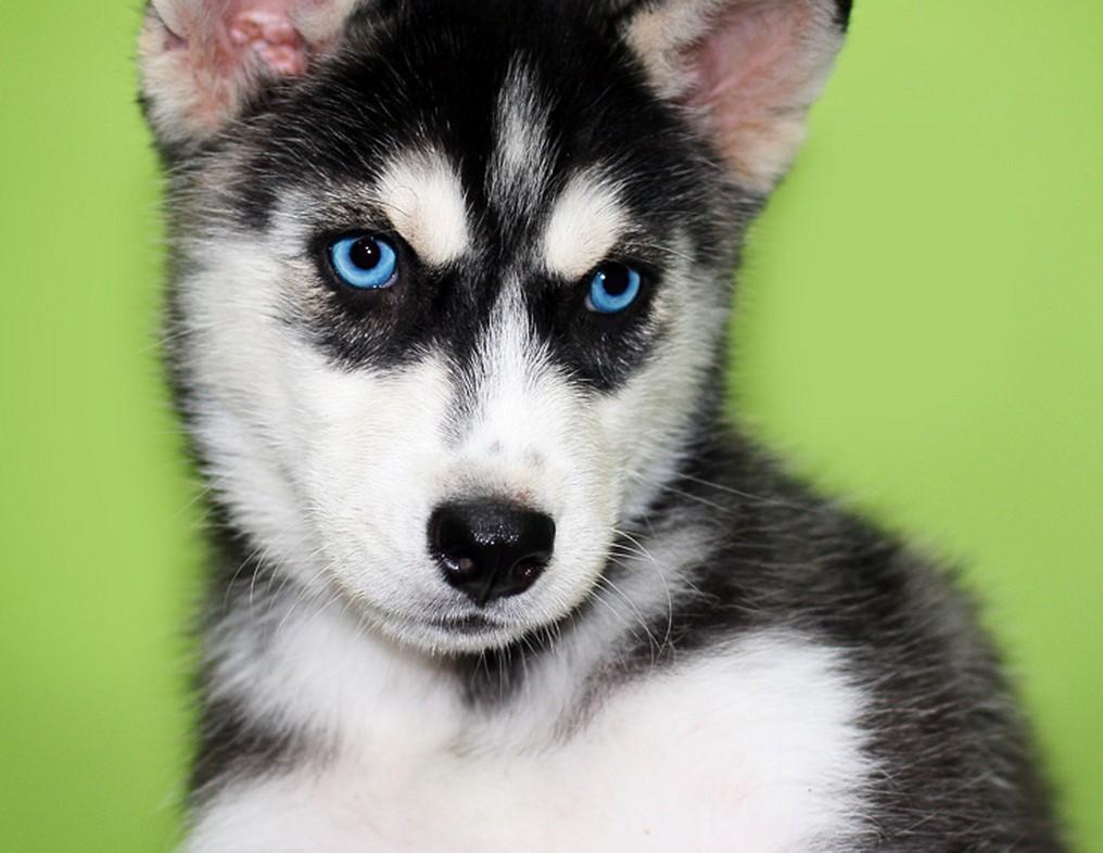 Blue Eyed Pomeranian Picture Dog