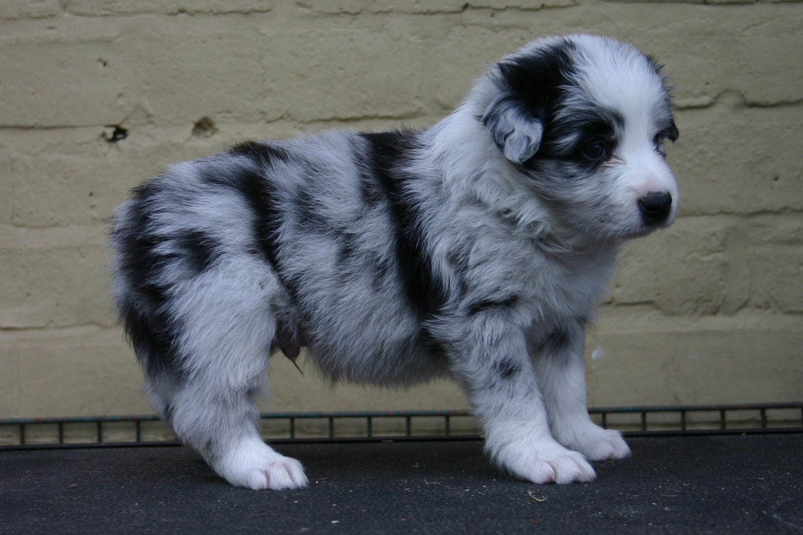 Blue Merle Border Collies Picture