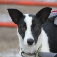 Border-Collies-Picture-Mn