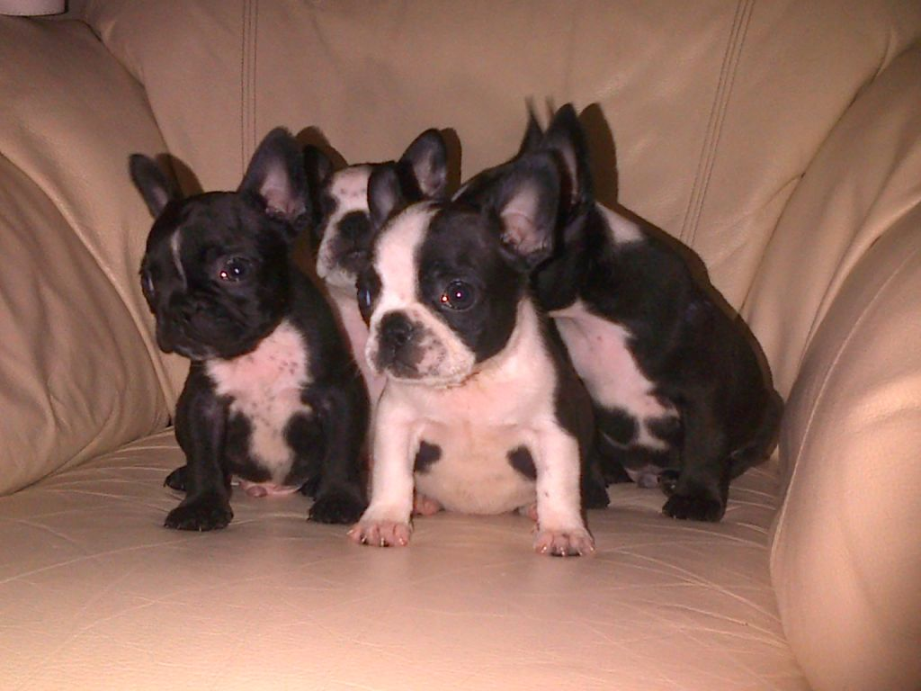 Boston Terrier Bulldog Mix Puppies Picture
