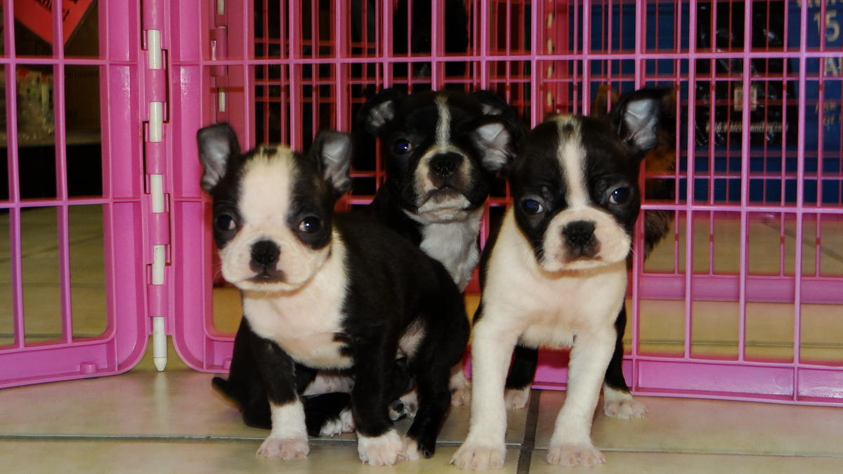 Boston Terrier Puppies Picture Ga