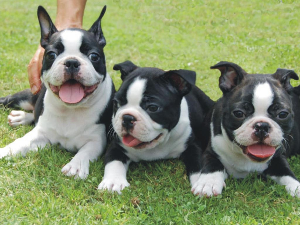 Boston Terrier Puppies Picture Houston