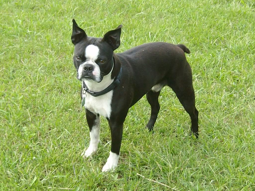 Boston Terriers Picture Kansas