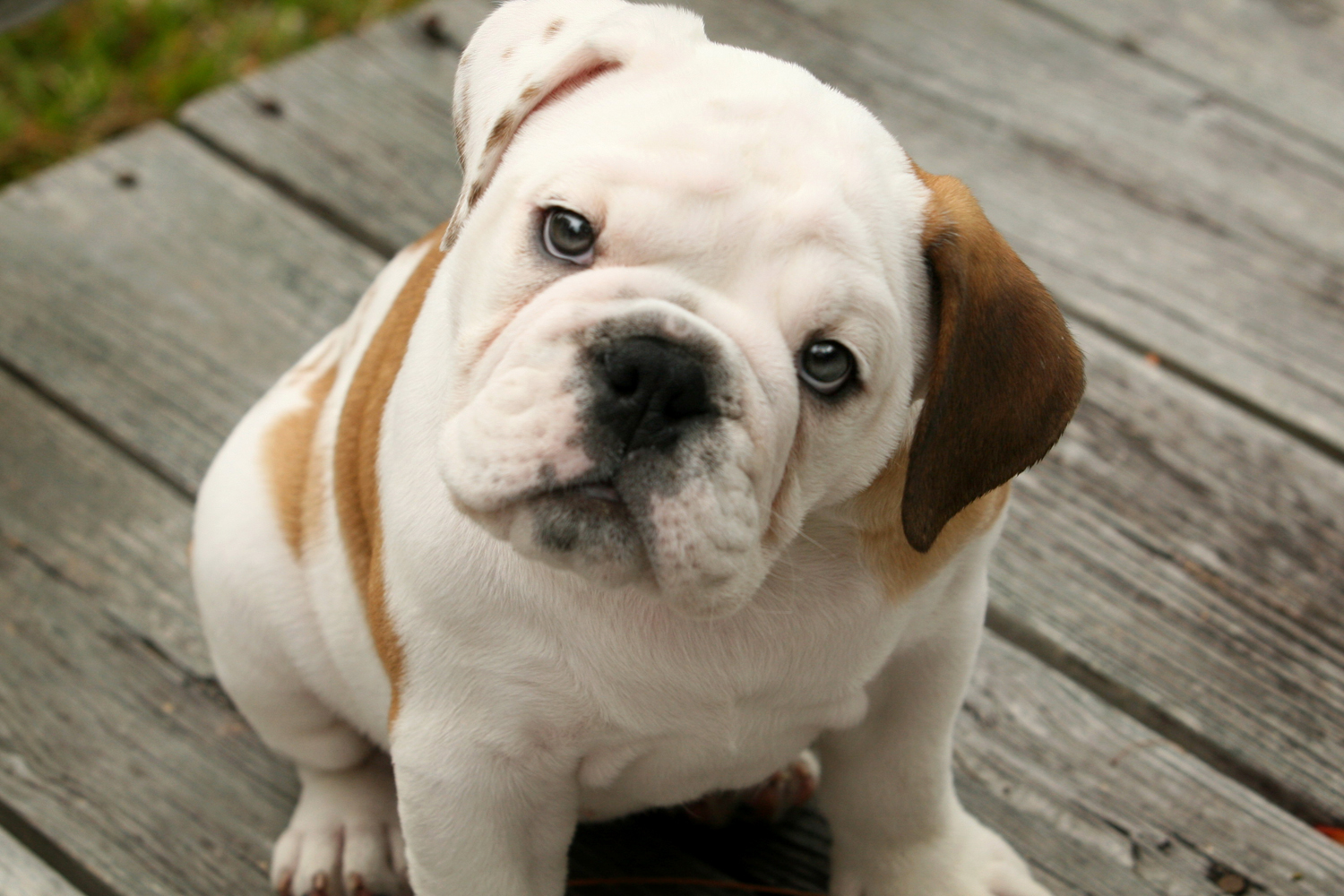 Boxer American Bulldog Mix Puppies Picture - Dog Breeders ...