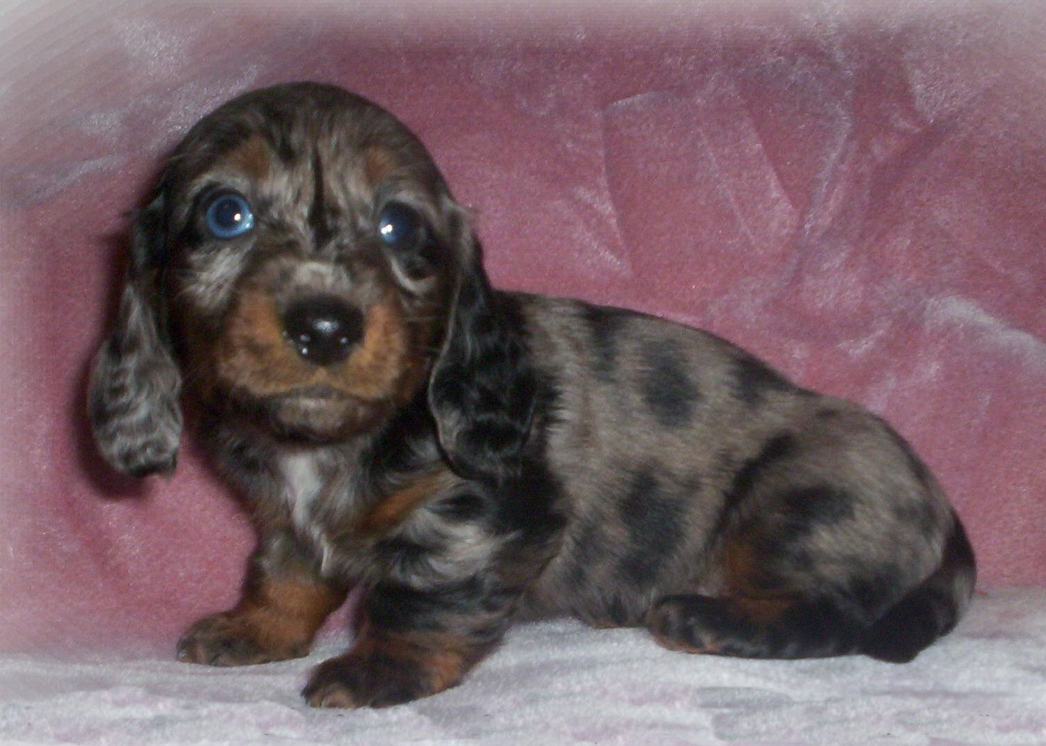 Brindle Dachshund Puppies Picture