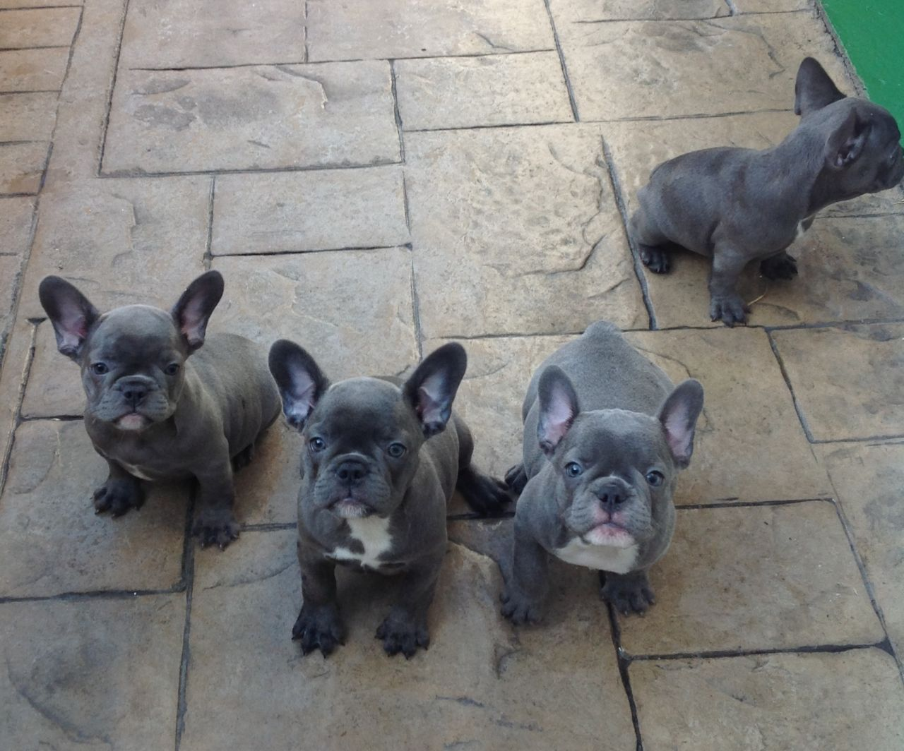 Brown French Bulldog Puppies Picture Dog Breeders Guide
