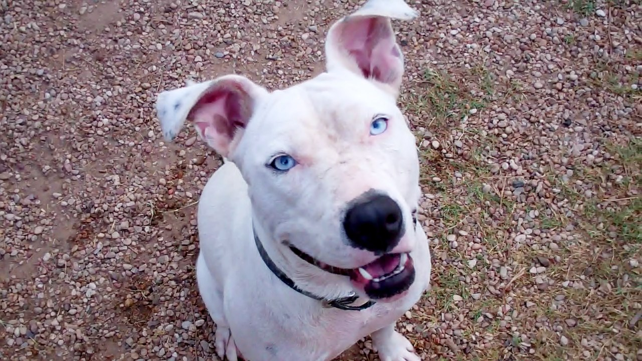 Bull Terrier Puppies Picture Arizona