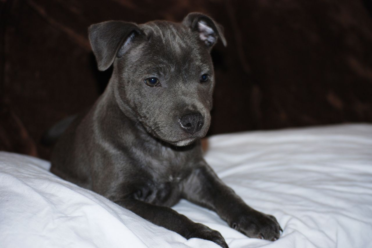 Bull Terrier Puppies Picture Illinois