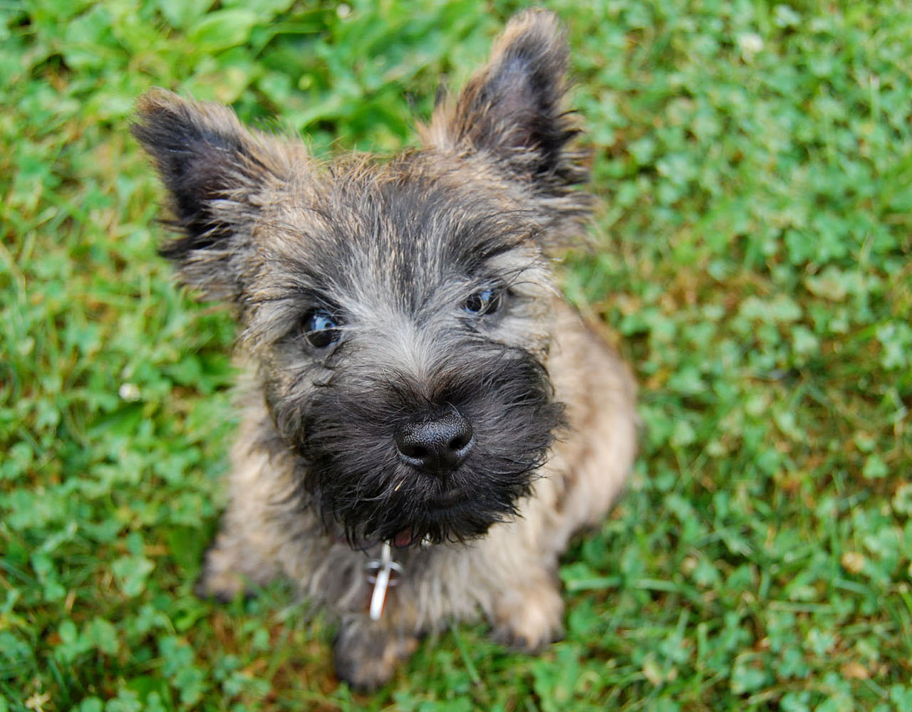 Cairn Terrier Puppies Picture Michigan