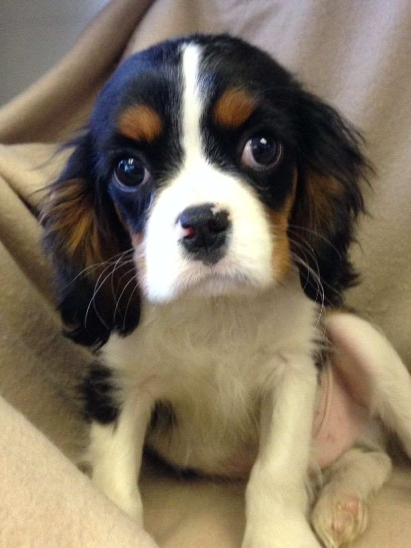 Cavalier King Charles Spaniel Rescue Puppies Picture