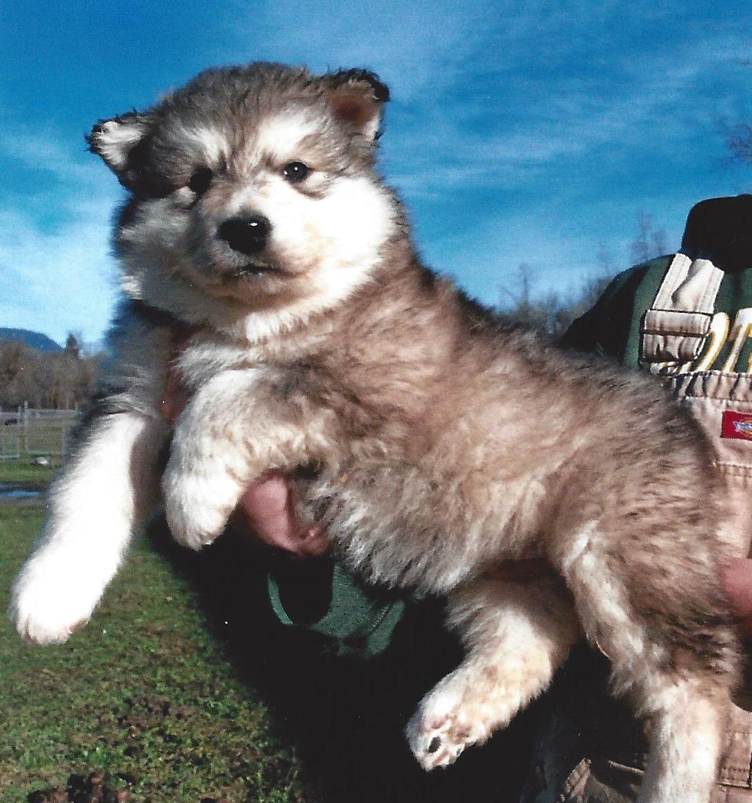 Cheap Alaskan Malamute Puppies Picture Dog Breeders Guide