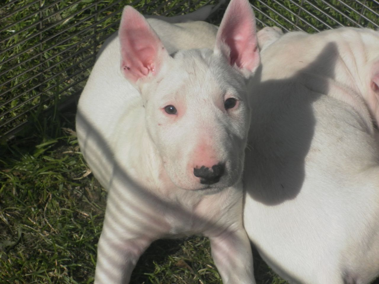 Cheap Bull Terrier Puppies Picture
