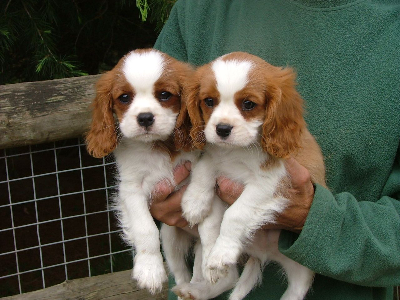 Cheap Cavalier King Charles Spaniel Puppies Picture