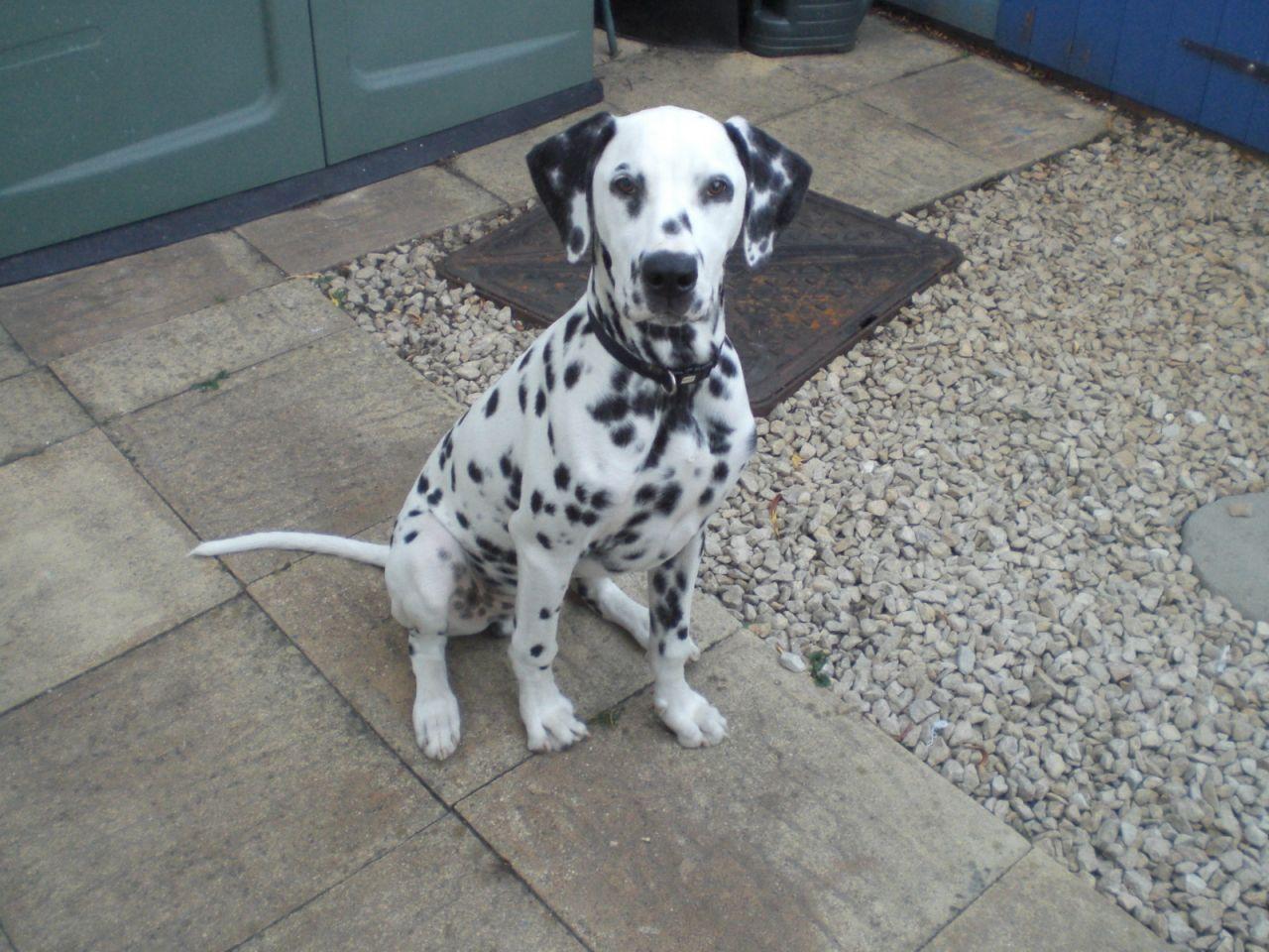 Cheap Dalmatian Puppies Picture