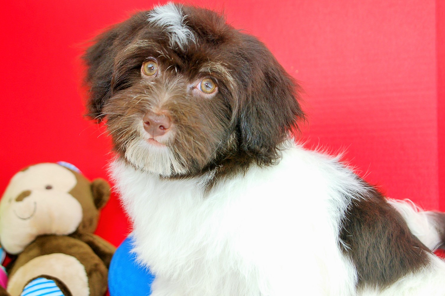 Cheap Havanese Puppies Picture