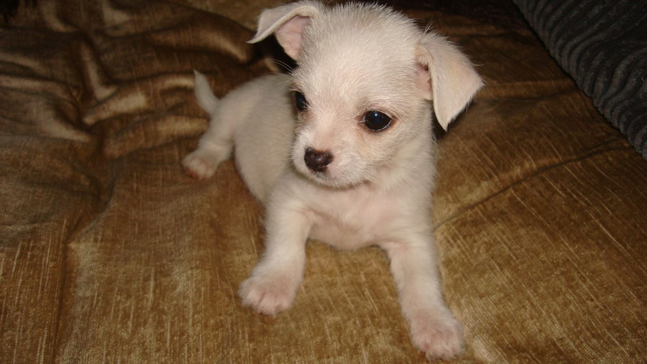 Chihuahua Maltese Mix Puppies Picture Dog Breeders Guide