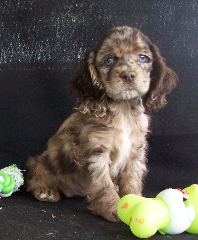 Wire Haired Dachshund Puppies 7036 furthermore Dachshund Poodle Mix Puppies Picture likewise Golden Dox Golden Weiner together with 17 Insane Pit Bull Mixes You Need To See Right Now furthermore Which Breed Of Puppy Looking At Dachshunds. on weiner puppy