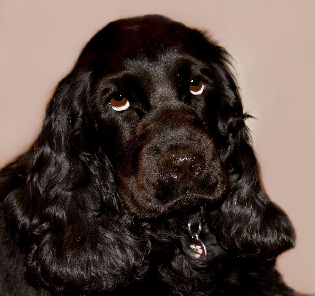 Cocker Spaniel Picture Nc Dog Breeders Guide
