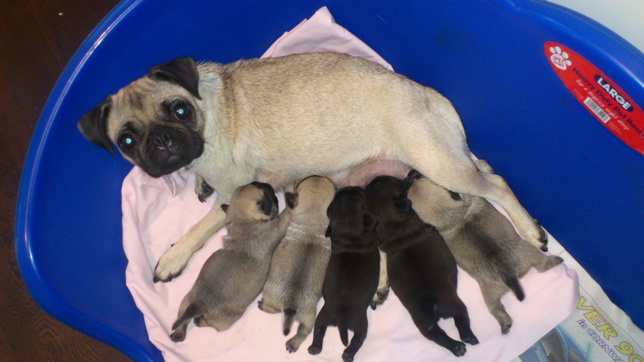 Cute Baby Pugs Picture