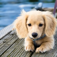 Dachshund-Golden-Retriever-Mix-Picture