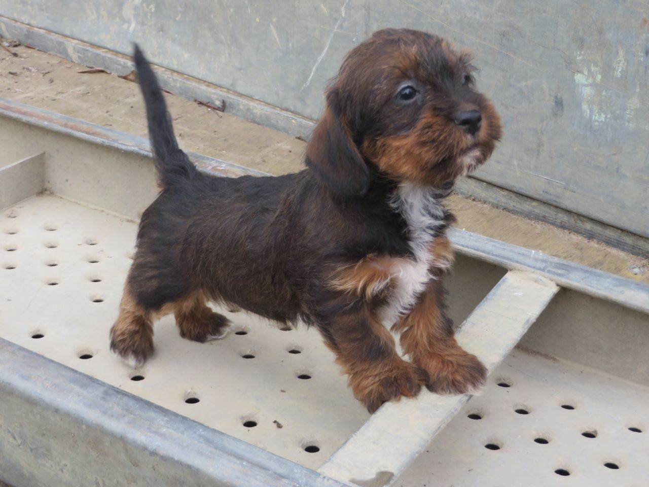 shih tzu pitbull mix full grown dachshund poodle mix puppies picture dog breeders guide 8642