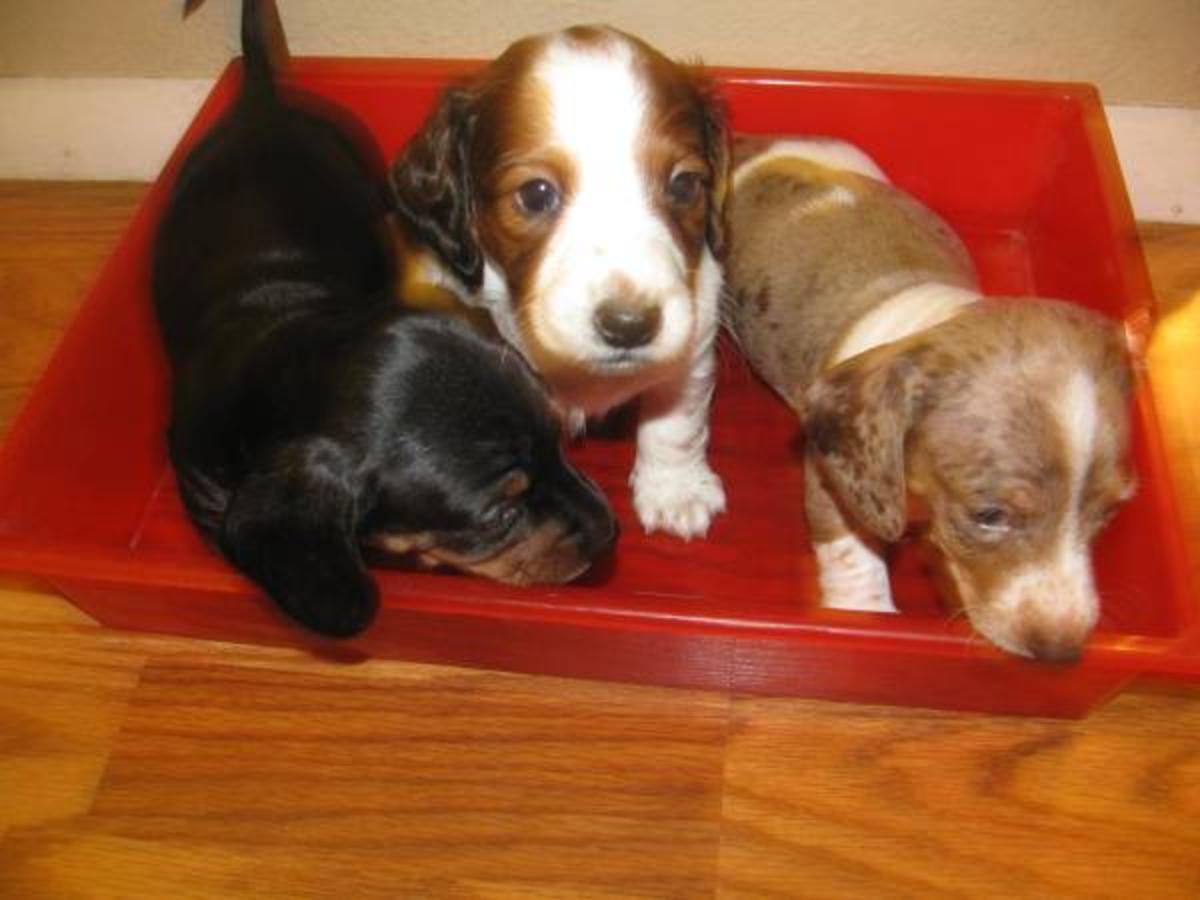 Dachshund Puppies Picture Iowa