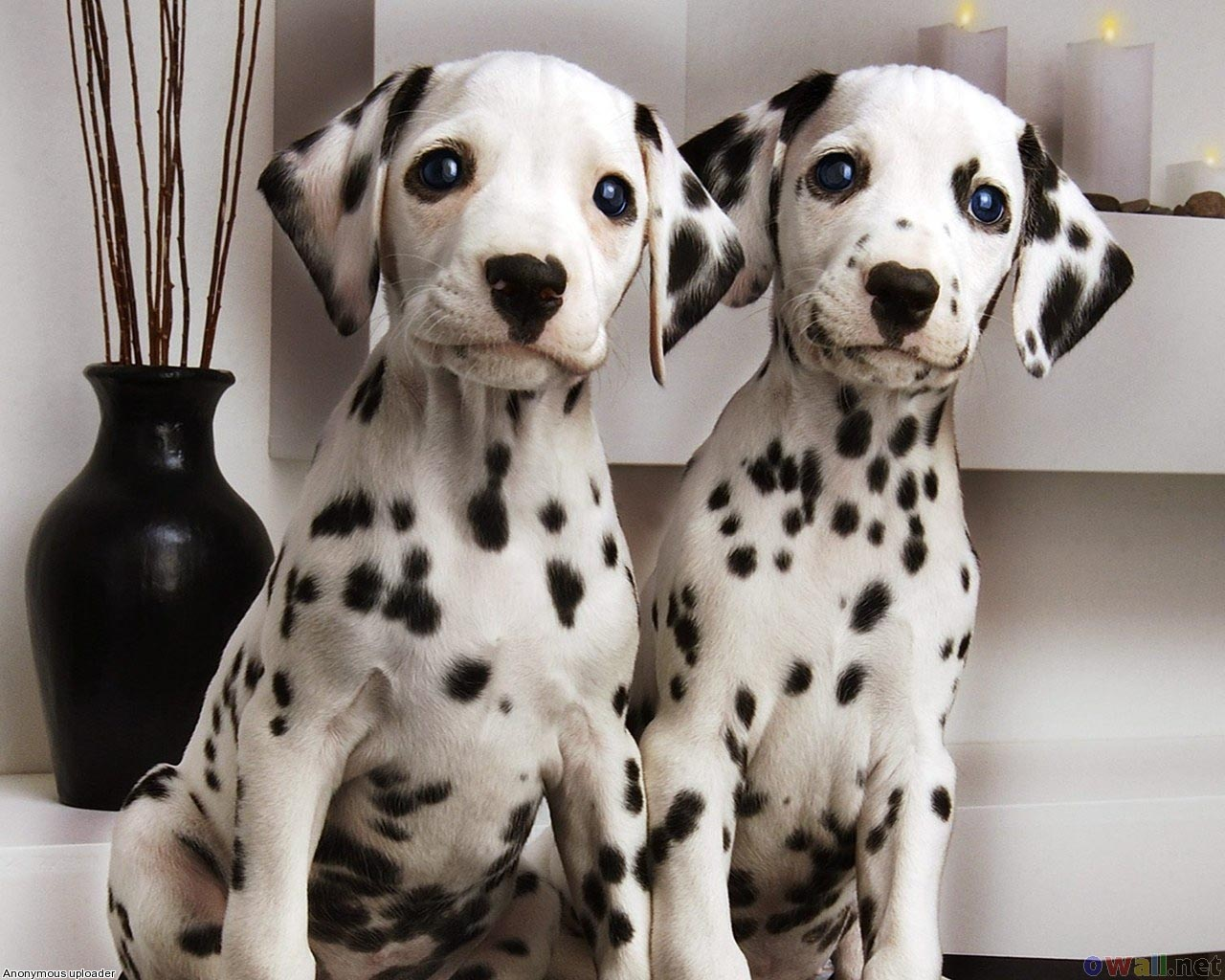 Dalmatian Puppies Picture California