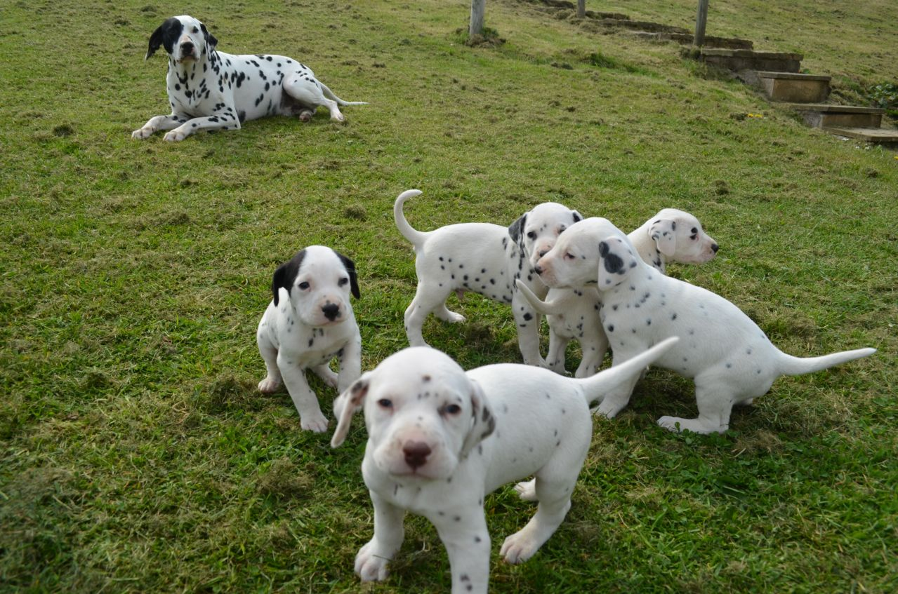 Dalmatian Puppies Picture Ky