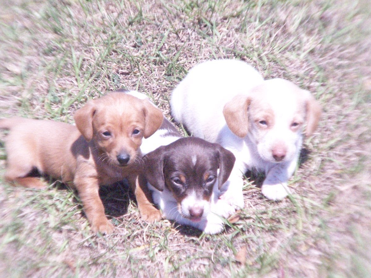 Dalmatian Puppies Picture Nc